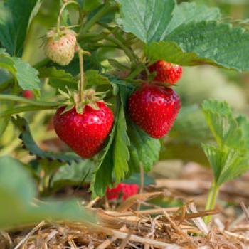 Erdbeere Florence Bioland