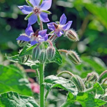 Borretsch Blüte Bio