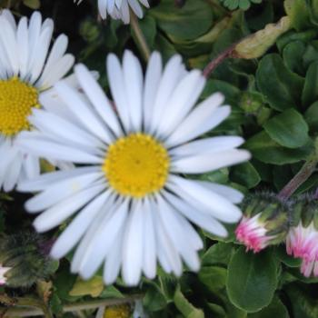 Gänseblümchen Wildkraut