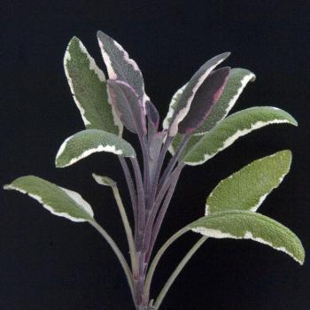 Salbei, weißbunter Gewürzsalbei Bio