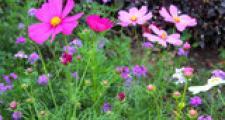 Cosmea Cosmos bipinnatus Bioland