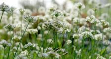 Schnittknoblauch Bio Allium tuberosum