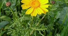 Gold Wucherblume Chrysanthemum coronarium Bioland