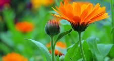 Ringelblume Calendula Bio