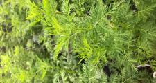 Artemisia annua Einjähriger Beifuß Bioland