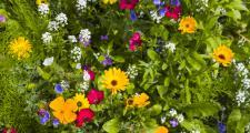 Blütenkräuter Insektenfreund Bio