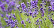 Lavendel blüht Bio