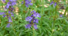 Ysop Blüten Bio