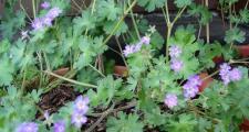 Weicher Storchschnabel Geranium molle Bioland